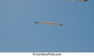 sky., seagulls, vogels, wild, vliegen, zeemeeuw, het stijgen, flying., tegen, flight., blauwe , zeevogel, 4k, griekenland