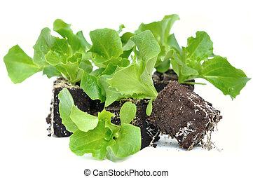 slaatje, seedlings