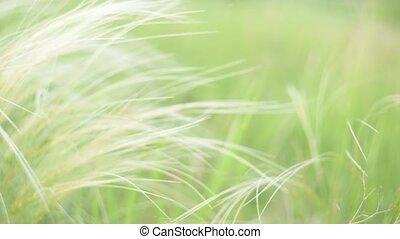 slingeren, zonopkomst, veer, gras, zilver, wind