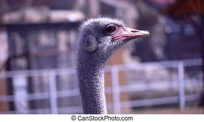 snavel, close-up, hoofd, struisvogel, zijn, hoofd, groot, draaien