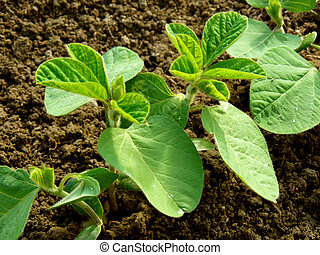 soya, kleine, plant