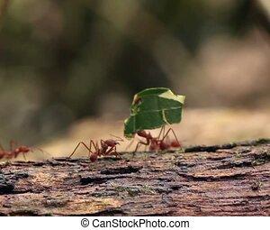 sp.), snijder, blad, mieren, (atta