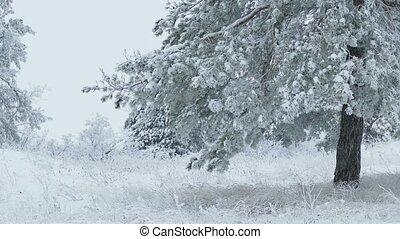 spar, sneeuw, kerstboom, het sneeuwen, winter, bos, tak, wild