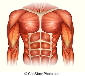 spierballen, torso