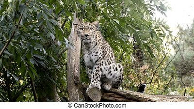 sri, (panthera, kotiya), ceylon, lankan, pardus, luipaard