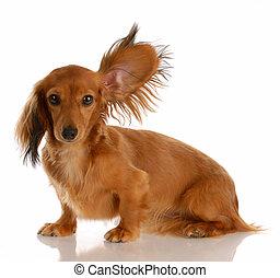 staand, haired, op, lang, een, miniatuur, het luisteren, oor, dachshund