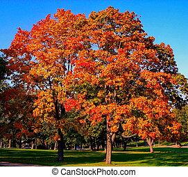 stad park, bomen, herfst, herfst, esdoorn