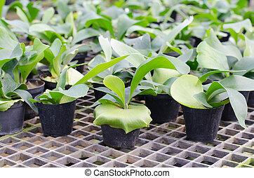 staghorn, varen, pot, kiemplant