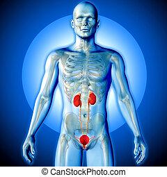 systeem, render, beeld, medisch, urine, 3d, aangepunt, figuur, mannelijke