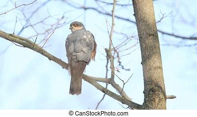 tak, sparrowhawk, zit, blik, ongeveer