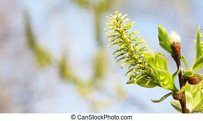takken, slingeren, wilg, lente, bloeien, knop, wind