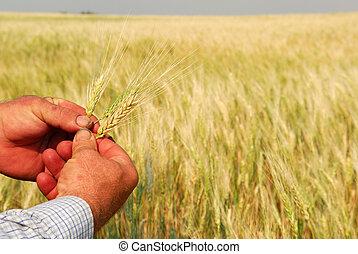 tarwe, handen, durum, landbouwer