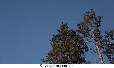 tegen, blauwe hemel, bomen, dennenboom
