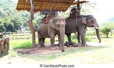 thailand, elefant