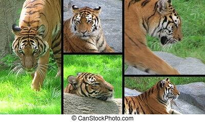 tiger, composiet, siberisch