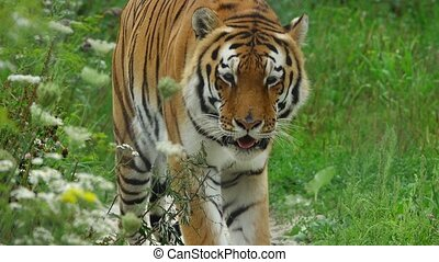 tiger, gaan