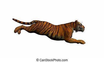 tiger, rennende