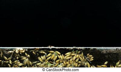 tijd, hun, haver, planten, graankorrel, ontwikkeling, concept, wortels, oorsprong, life., grond, wrakkigheid, groei