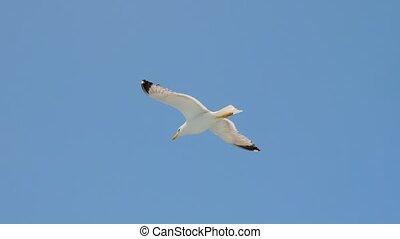 toerisme, flight., zeevogel, verblijven, het stijgen, vliegen, kort, opportunities., tegen, 4k., blauwe , seagulls, griekenland, seizoen, wild, zeemeeuw, sky., flying., vogels