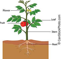 tomaat plant, onderdelen, het tonen