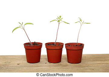 tomaat, seedlings