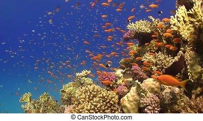 tropische , vibrant, visje, koraalrif