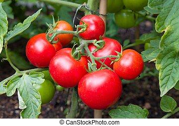 tuin, rijp, wijnstok, groente, tomaten, groeiende, uk
