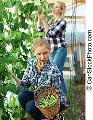 tuinieren, bedden, bonen, breed, vrouw