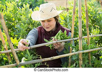 tuinieren, breed, plantatie, vrouw, bonen