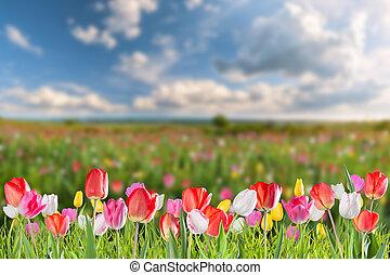 tulp, bloemen, weide