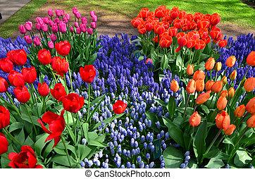 tulpen, nederland, park, keukenhof, bloeien
