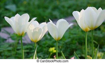 tulpen, park
