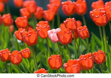 tulpen, rood