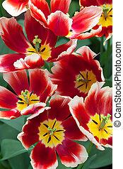 tulpen, tuin, nederland, keukenhof, lisse