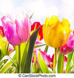 tulpen, vibrant, twee, closeup, buitenshuis, fris
