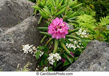 tussen, rododendron, keien, bloemen