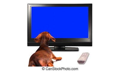 tv, puppy, -, hd, schouwend