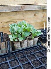 uk, groeiende, koude, binnen, lagen, frame, zaad, groente