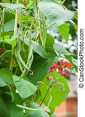 uk, pronkboon, plant, bonen, bloemen, tuin, groente
