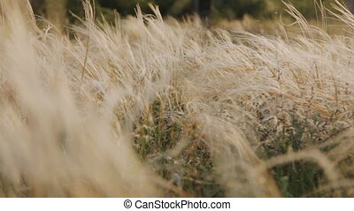 veer, gras, ondergaande zon