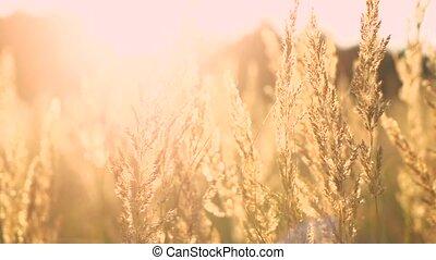 veer, handeel gras af, ondergaande zon