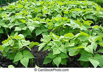 vegeta, spersiebonen, seedlings