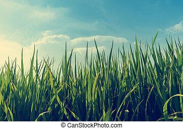 velden, rijst paddy
