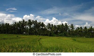 velden, rijst