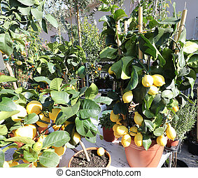 velen, citroenen, potten, verkoop, boompje