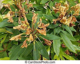 verlepte plant, bloemen, bruine