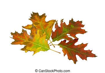 verlof, decoratief, vier, eik, herfst, samenstelling