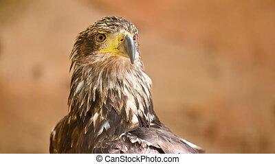 verticaal, jonge, eagle., kaal