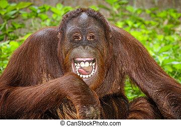 verticaal, lachen, orangutan