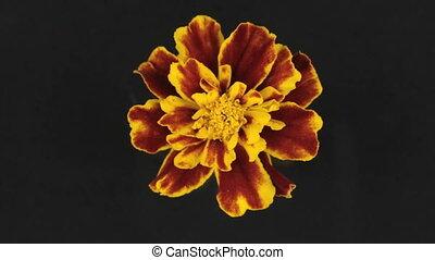 vertragen, gele bloem, zwarte achtergrond, omwenteling